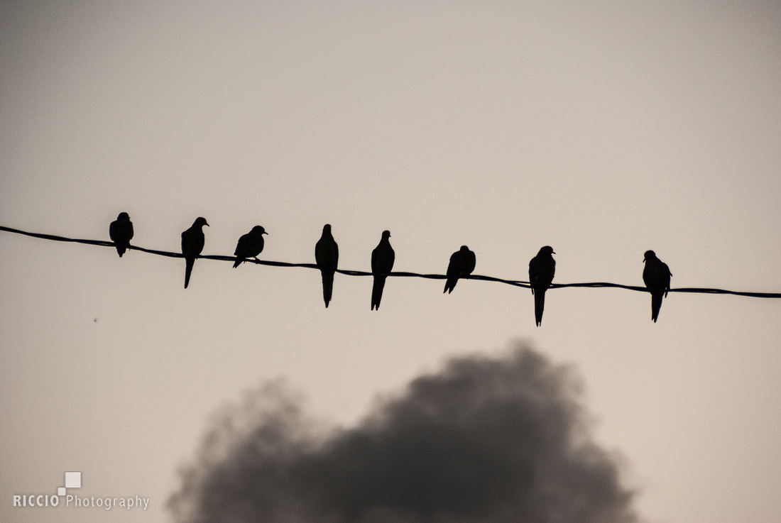 Doves on power line. Photographed by Maurizio Riccio