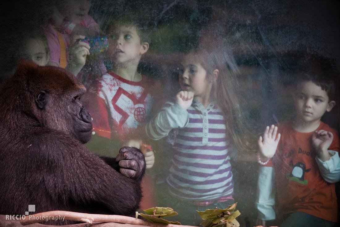Children watching a gorilla