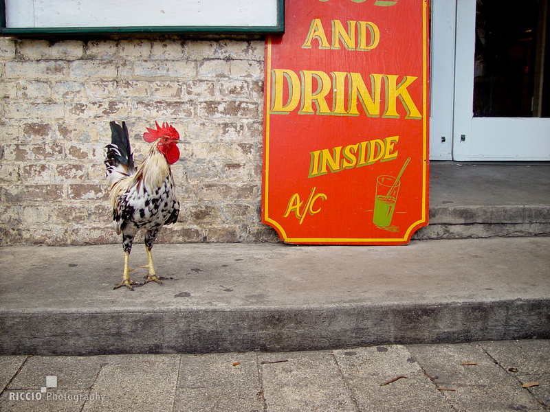 Rooster by bar in Key West, Florida