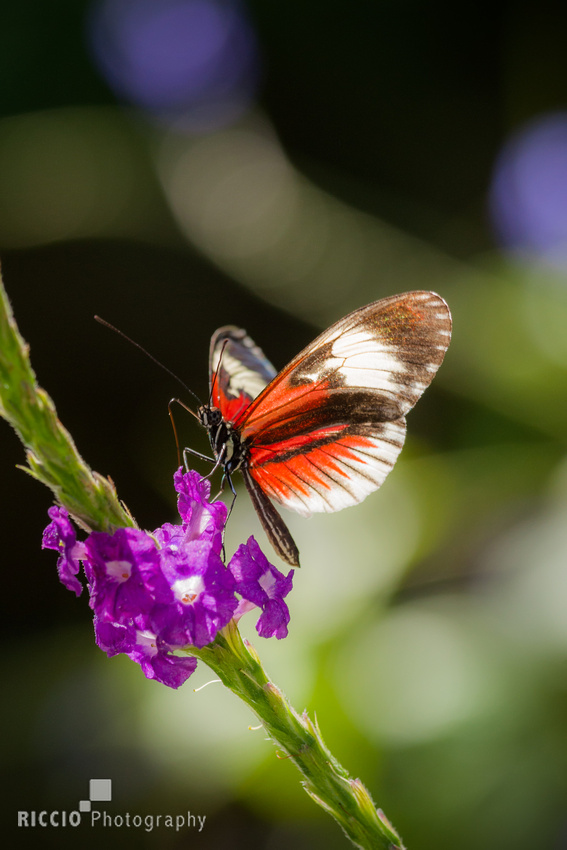 Red, white and black butterfly on purple flower