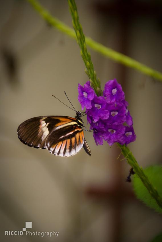 Orange and black butterfly of purple flower.