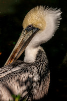 Brown pelican_02