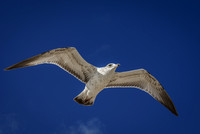 Seagull in flight photographed by Maurizio Riccio