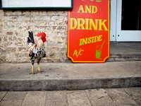 Rooster by bar. Photographed by Maurizio Riccio