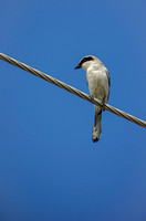Bird on a wire photographed by Maurizio Riccio
