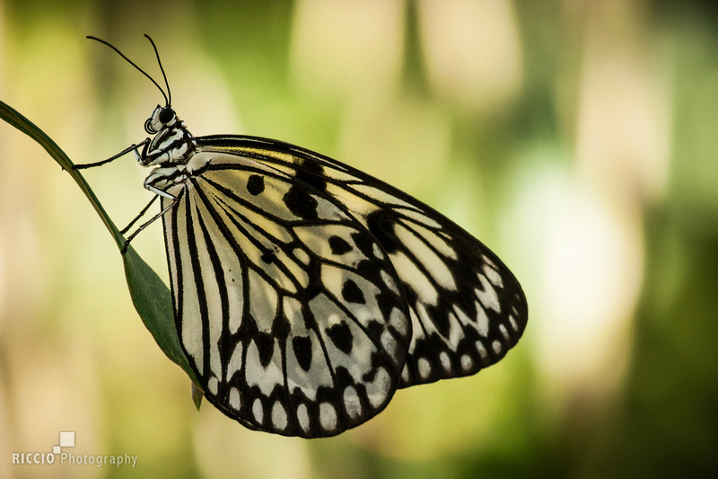 Butterfly photographed by Maurizio Riccio
