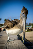 Young pelican on pier in Deerfield Beach, Florida. By Maurizio Riccio
