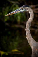 Great blue heron photographed by Maurizio Riccio