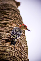 Red-bellied woodpecker photographed by Maurizio Riccio