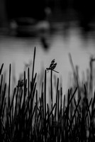 Dragonfly in B&W, photographed by Maurizio Riccio